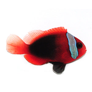 New Caledonia Blue Stripe Cinnamon (Amphiprion Melanopus) Captive Bred