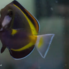 Powder Brown Tang (Acanthurus japonicus)