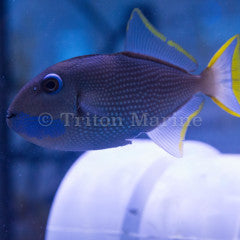 Blue Throat Triggerfish (Xanthichthys auromarginatus) Male