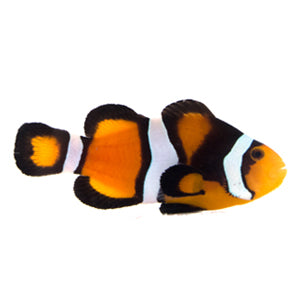 Fancy Super Clownfish (Amphiprion Ocellaris) Captive-bred