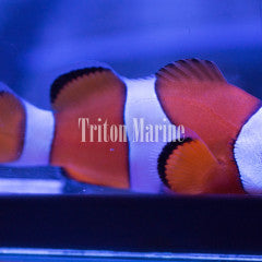 Ocellaris Clowns (Amphiprion ocellaris