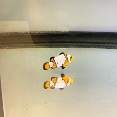 Fancy Snowflake Extreme Clownfish (Amphiprion ocellaris) Captive Bred G