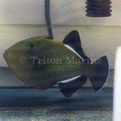 Hawaiian Black Triggerfish (Melichthys niger)