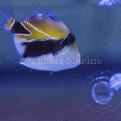 Humu Rectangle Triggerfish (Rhinecanthus rectangulus)