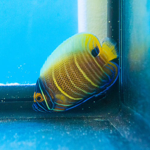 Blueface Angelfish (Pomacanthus xanthometopon) ML S-Adult 6/18/19