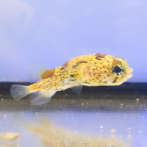 Porcupine Puffer (Diodon holocanthus)