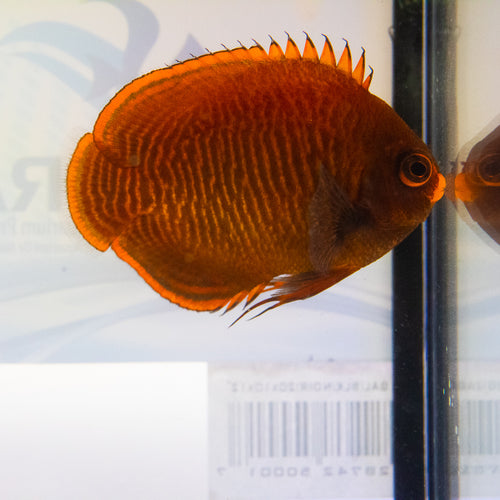 Golden Red Angel (Centropyge aurantius)