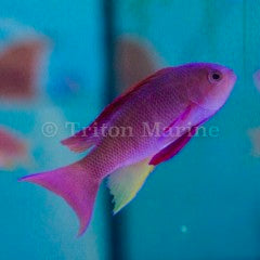Lyretail Anthias-Male (Pseudanthias squamipinnis)