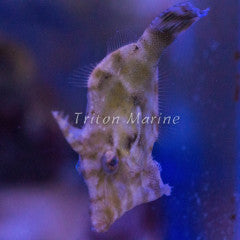 Matted Filefish (Acreichthys tomentosus)