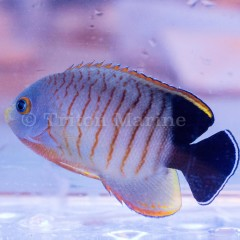 Red Stripe Angelfish (Centropyge eibli)