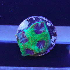 TMA Blue Eye Favia Frag 2-3 Eyes