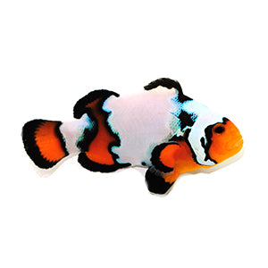 Black Ice Clownfish Extreme (Amphiprion ocellaris) Captive Bred