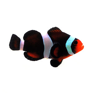 Chocolate Mocha Clownfish (Amphiprion ocellaris)