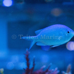 Blue/Green Chromis (Chromis viridis)