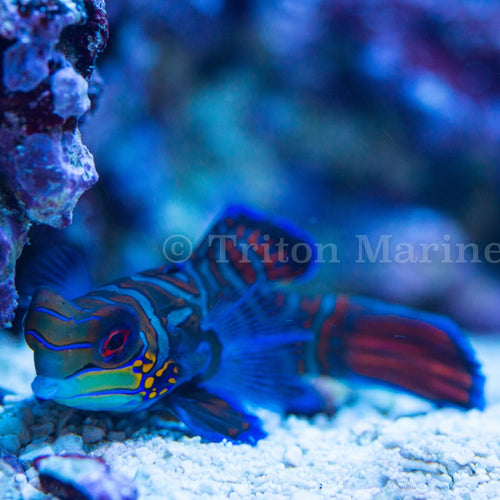 Green Mandarin Dragonet (Synchiropus splendidus)