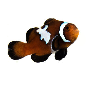 Midnight Chocolate Mocha Lighting Clownfish (Amphiprion ocellaris)