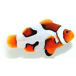 Picasso Special Clown (Amphiprion percula) Captive-Bred