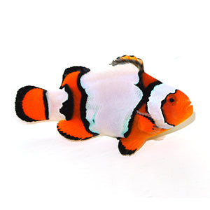 Snow Onyx Clown (Amphiprion Ocellaris x Percula)