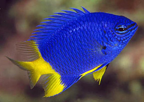 Yellowtail Damselfish (Chrysiptera parasema)
