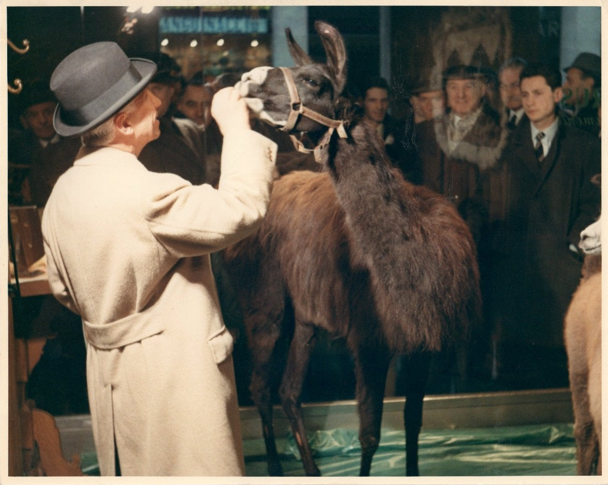 Guglielmo Miani Sr – The first to import to Italy the famous Vicuna, the most precious fabric in the world.