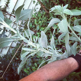 garden grown white sage botanical smudging bundles