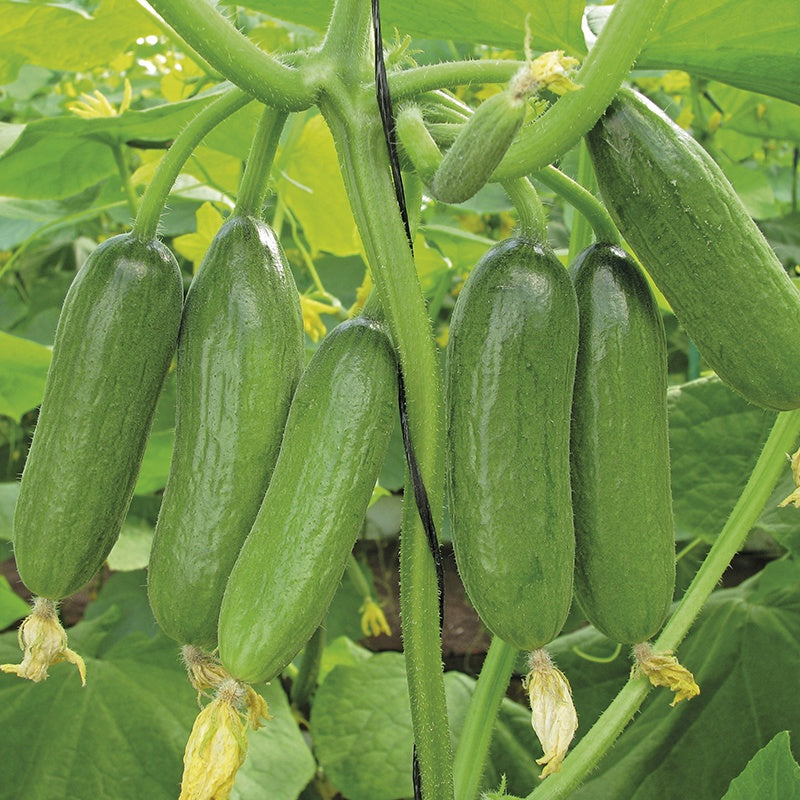 Mini Persian Cucumbers