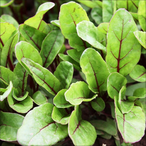 Large Leaf Red Veined Spinach