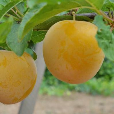Shiro Yellow Plums