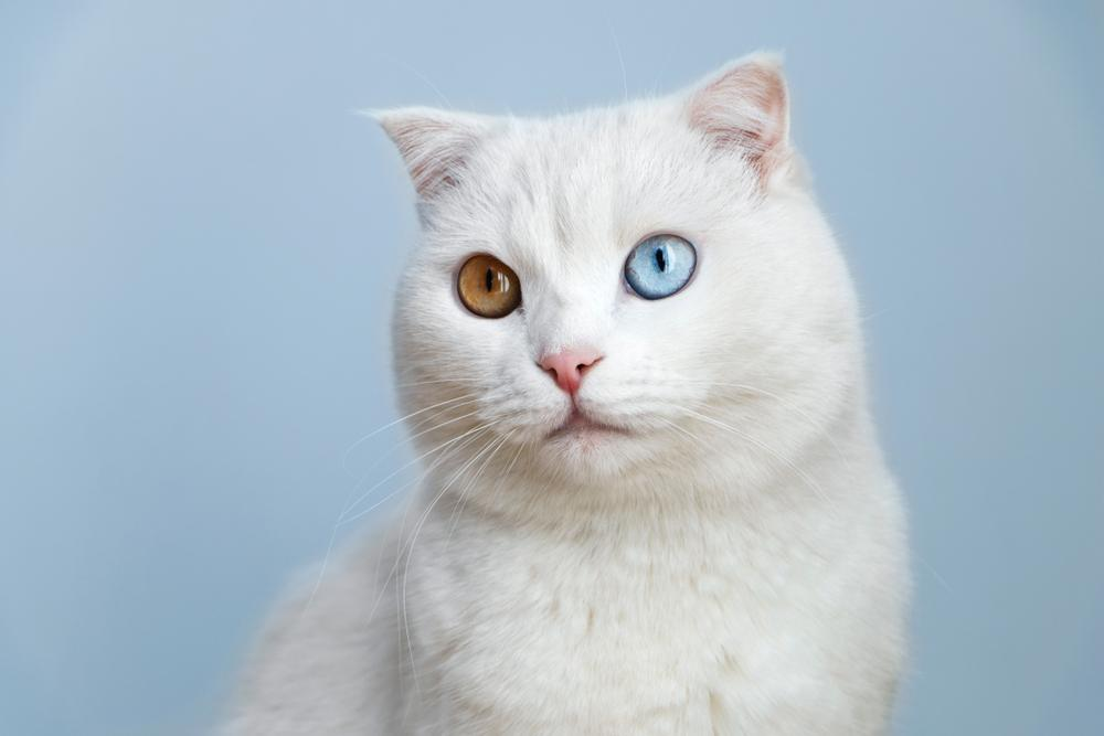 Heterochromia. Odd-Eyed Cats - a Bad Sign Or Smiles Of Fortune?