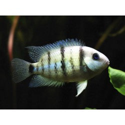 CUTTERS CICHLID (Cryptoheros Cutteri) - Aquarists Across Canada