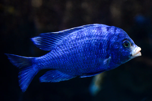 MDOKA WHITE LIPS (Placidochromis Phenochilus Mdoka) - Aquarists Across Canada
