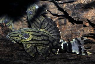 L191 BROKEN LINE ROYAL PLECO (Panaque Nigrolineatus)