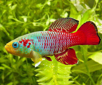RED EGGERSI KILLIFISH (Nothobranchius eggersi ) - Aquarists Across Canada