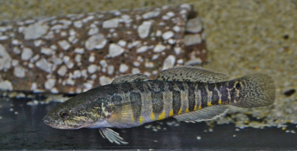 BARRED GUDGEON GOBY (Bostrichthys zonatus)