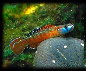 RED NEON GOBY (Stiphodon sp.) - Aquarists Across Canada