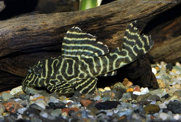 L333 YELLOW KING TIGER PLECO (Hypancistrus sp. L333) - Aquarists Across Canada