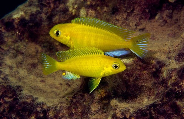 GOLDEN YELLOW TROPHEOPS (Tropheops macropthalmus *Kirondo* - Aquarists Across Canada