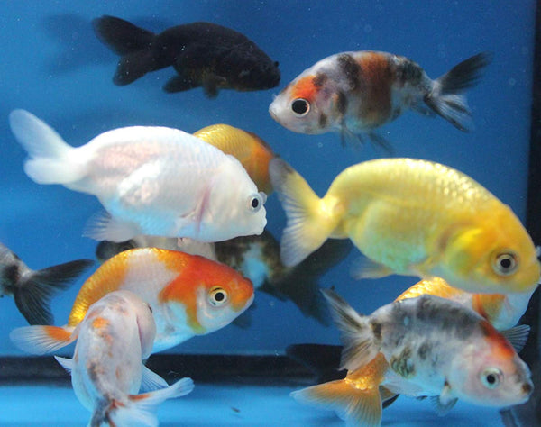 "RANCHU ASSORTED (Carassius Auratus) 2.5"" - Aquarists Across Canada"
