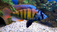 SP44 CICHLID (Astatotilapia .sp 44) - Aquarists Across Canada