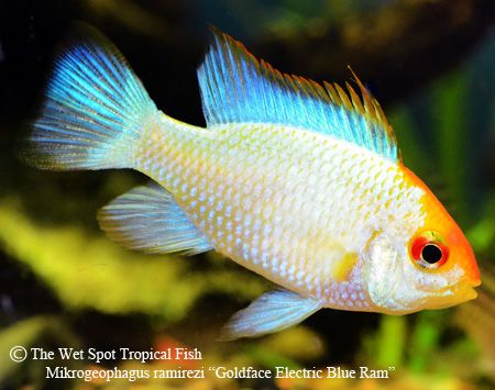 ELECTRIC BLUE GOLDEN RAM Mikrogeophagus ramirezi