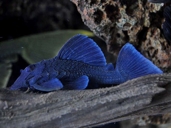 L239 BLUE PANAQUE PLECO (Baryancistrus beggini) - Aquarists Across Canada