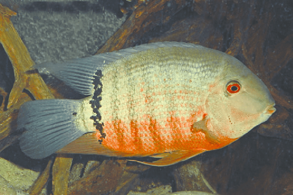RED MOUTHBROODER SEVERUM (Heros .sp Liberifer)