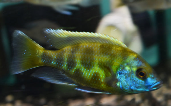 "NIMBOCHROMIS VENUSTUS (HOUSEBRED DOMESTIC) 1.5"" UNSEXED - Aquarists Across Canada"