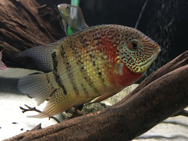 "SEVERUM RED TIGER (Heros Sp. Curare *Wild Caught*) 3""+ - Aquarists Across Canada"
