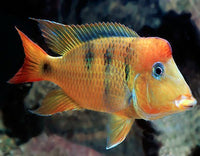YELLOW HUMP EARTH EATER *RED TYPE* (Geophagus Pelligrini)