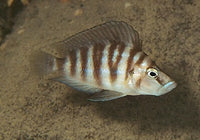 "SUMBU SHELL COMPRESSICEPS (ALTOLAMPROLOGUS COMP ""SUMBU SHELL"") - Aquarists Across Canada"
