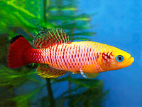 GOLD GUENTHERS KILLIFISH (Nothobranchius Guentheri *Gold*)