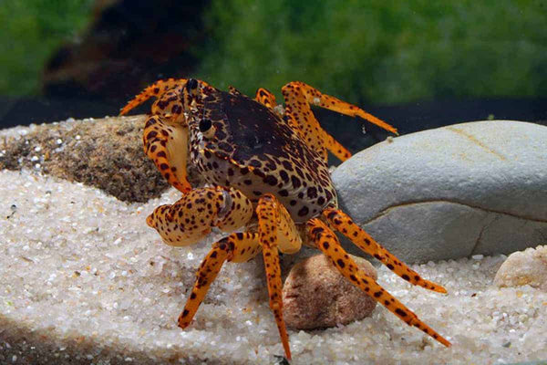 PANTHER CRAB (Parathelphusa Pantherina) - Aquarists Across Canada