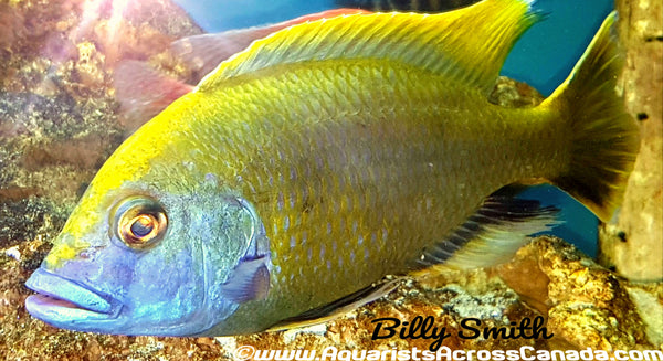 "NIMBOCHROMIS VENUSTUS (DOMESTIC) 8"" MALE - Aquarists Across Canada"