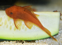 BRISTLENOSE *SUPER RED* (Ancistrus sp) - Aquarists Across Canada